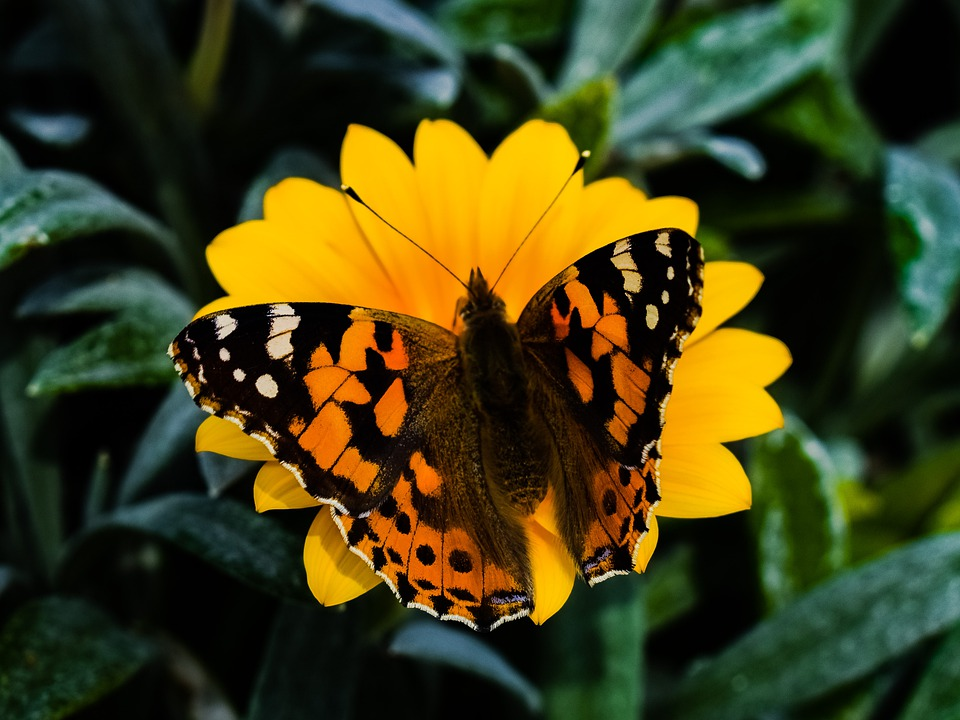 Butterfly, Nature, Insect, Garden, Flower, Wildlife