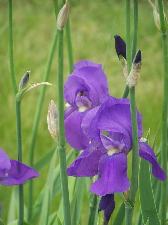 Iris, Flower, Bloom, Blossom, Purple, Violet, Flora