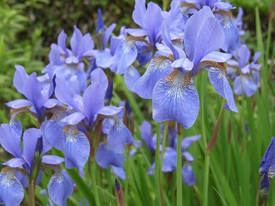 Iris, Blue, Flower