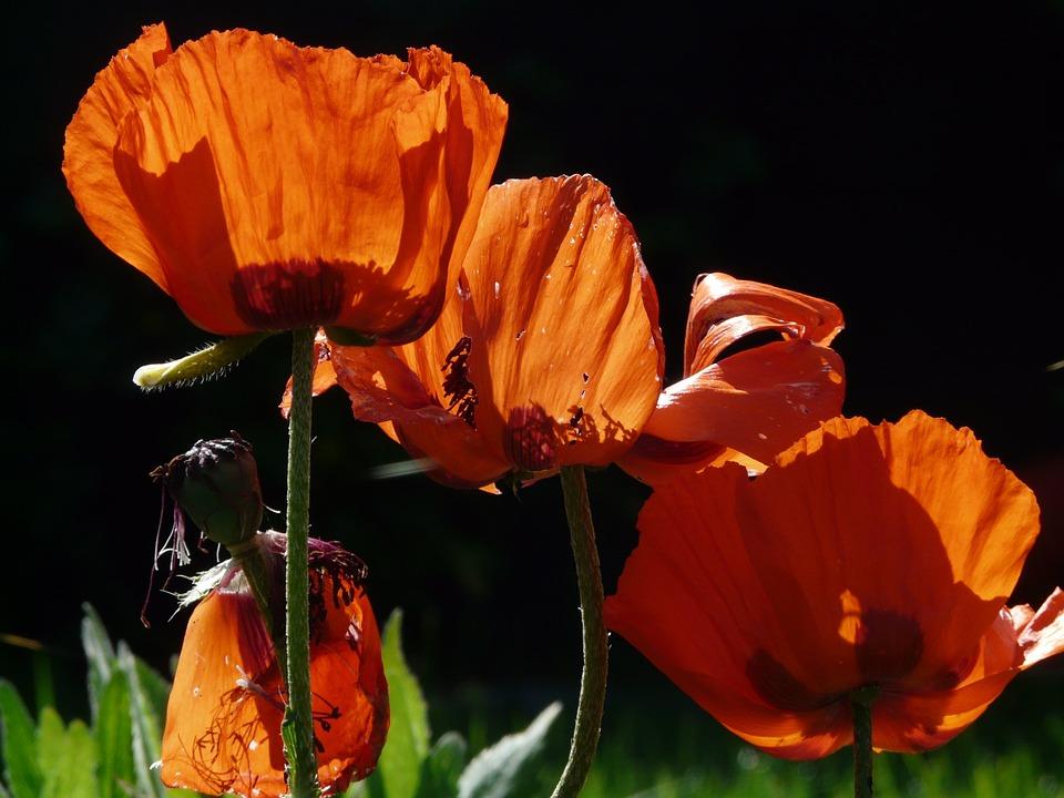 Klatschmohn, Poppy, Blossom, Bloom, Flower, Back Light