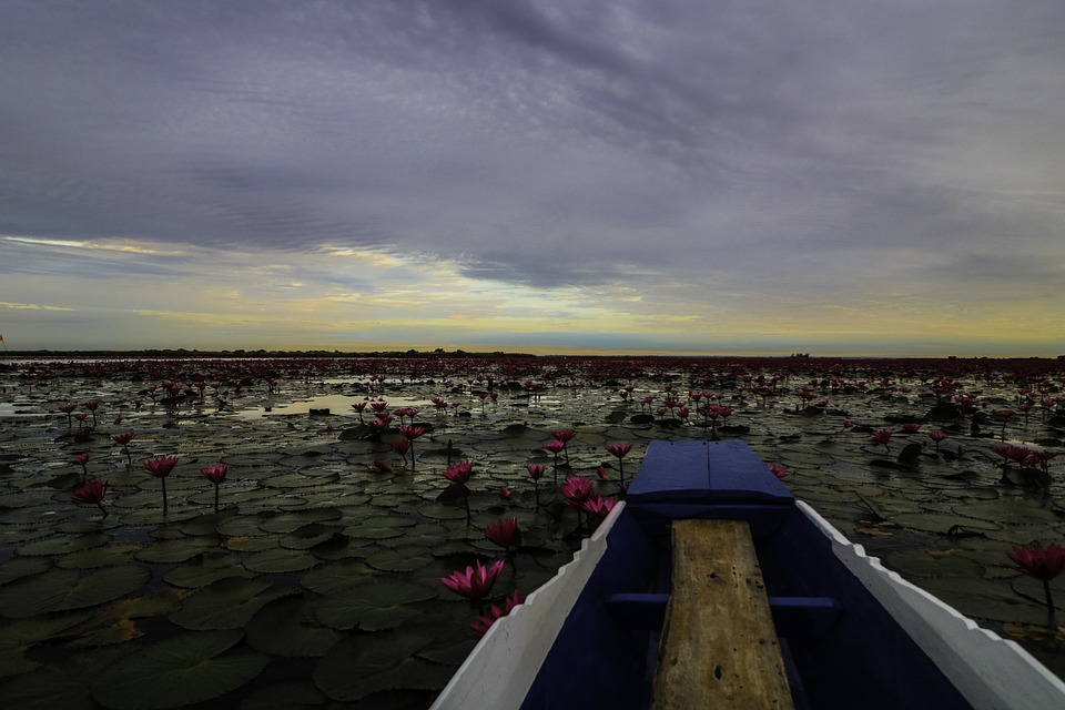 Thailand, Lotus, Lilly, Lake, Nature, Flower, Asia