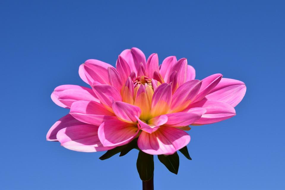 Dahlia, Blossom, Bloom, Flower, Pink, Late Summer