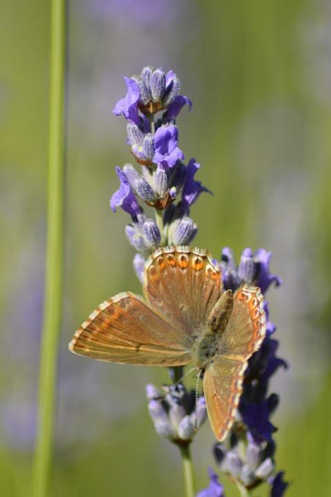 Butterfly, Flower, Lavender