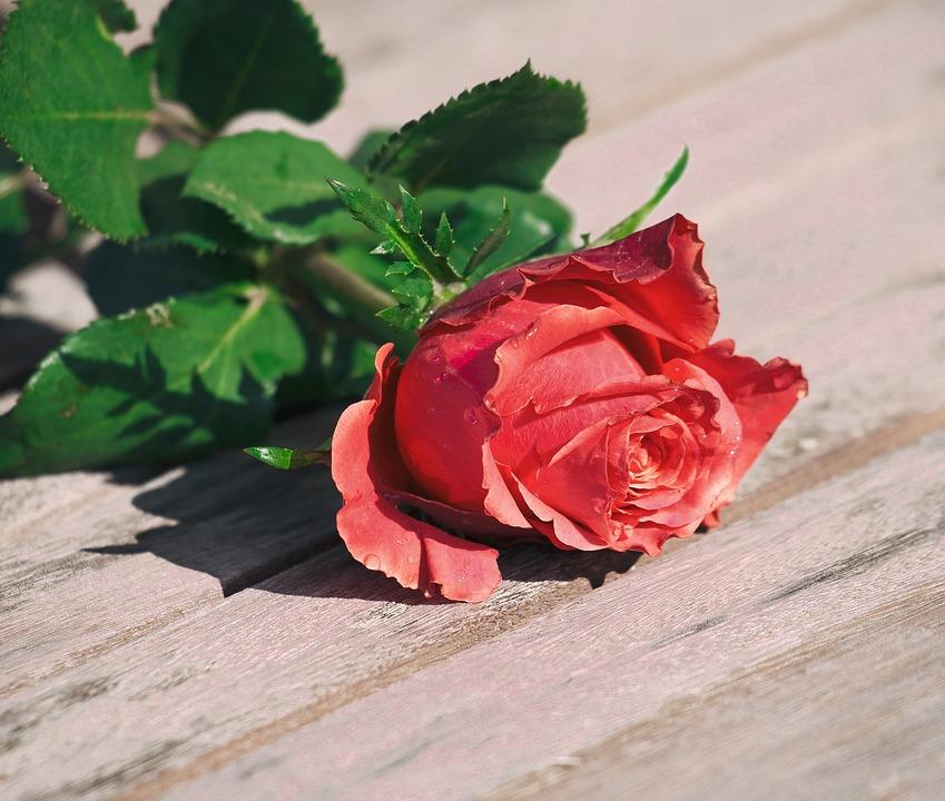 Rose, Flower, Romance, Love, Leaf, Romantic