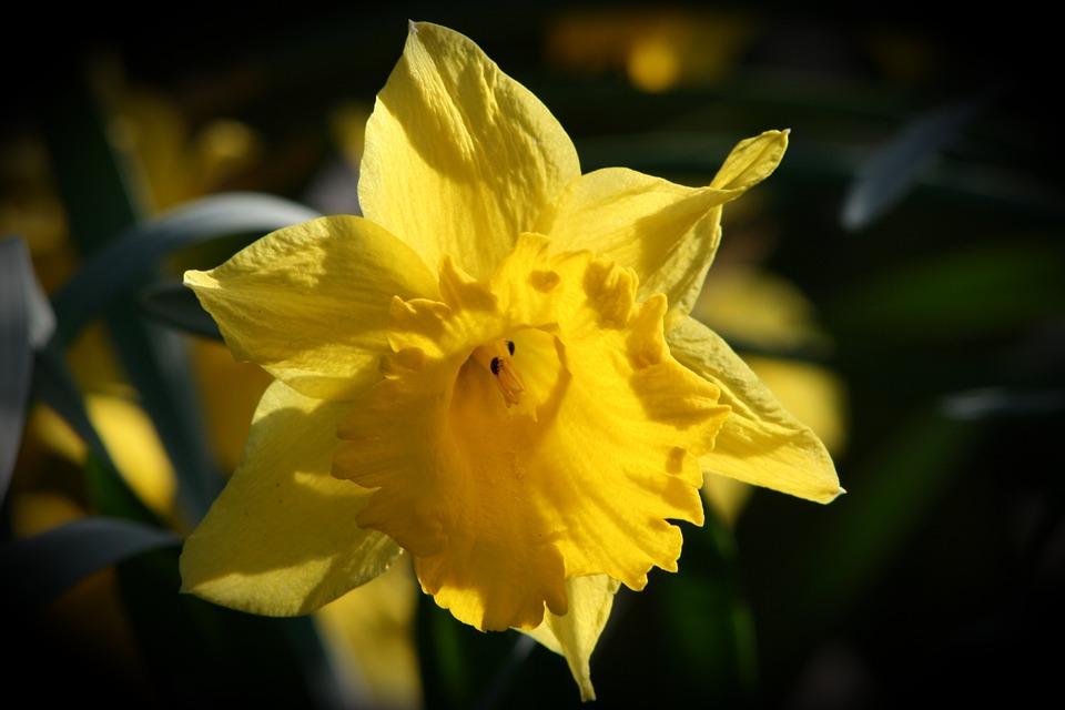 Nature, Flower, Plant, Leaf, Garden, Narcissus