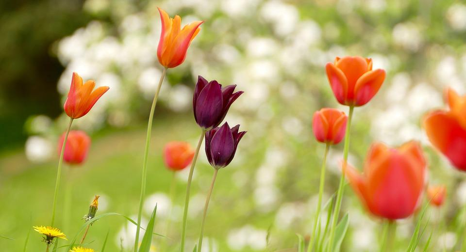 Nature, Flower, Flora, Summer, Leaf, Tulips, Spring