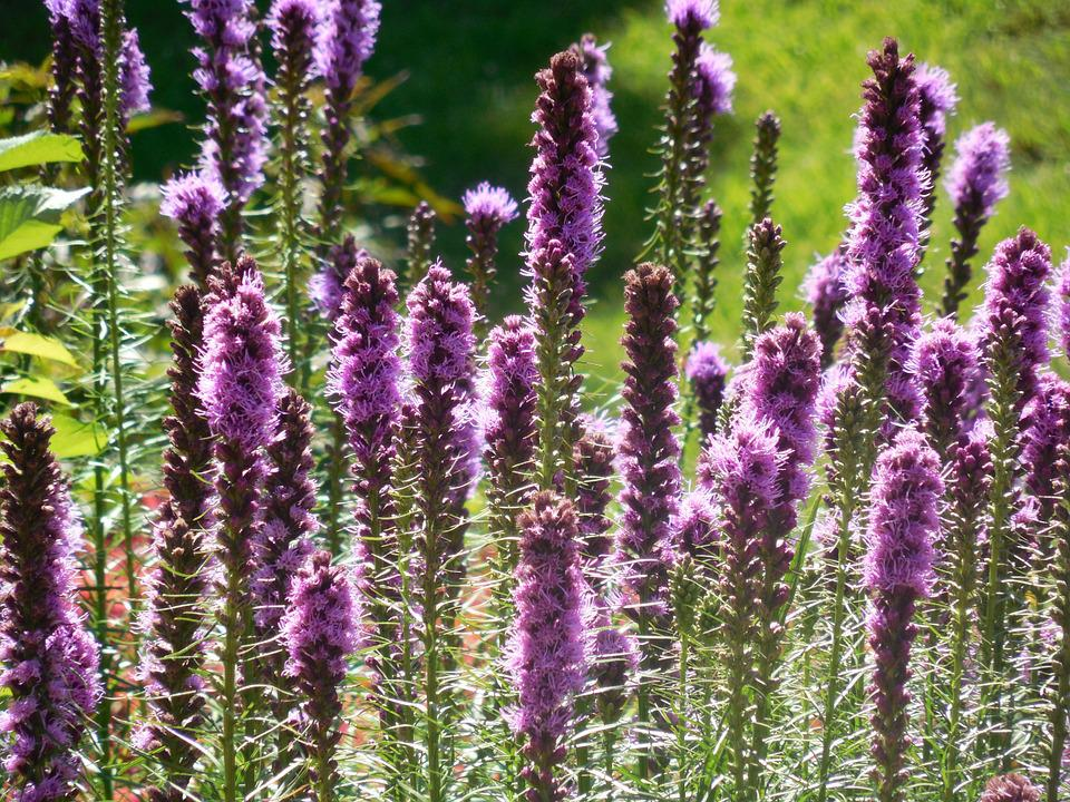 Liatris, Flower, Nature, Purple, Garden, Plant, Summer