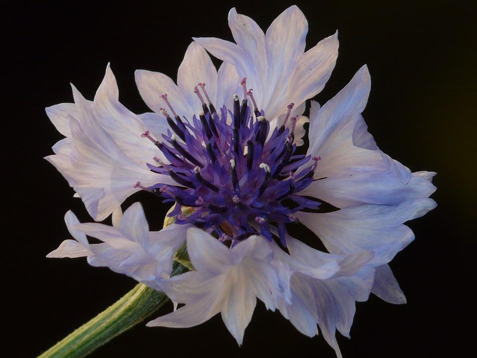 Cornflower, Light Blue, White, Light Pink, Pink, Flower
