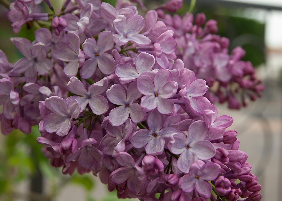 Flower, Lilac, Purple, Lili, Garden, Violet