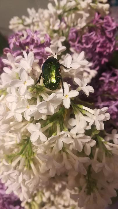 Lilac, Beetle, Spring, Handsomely, Flower, Nature