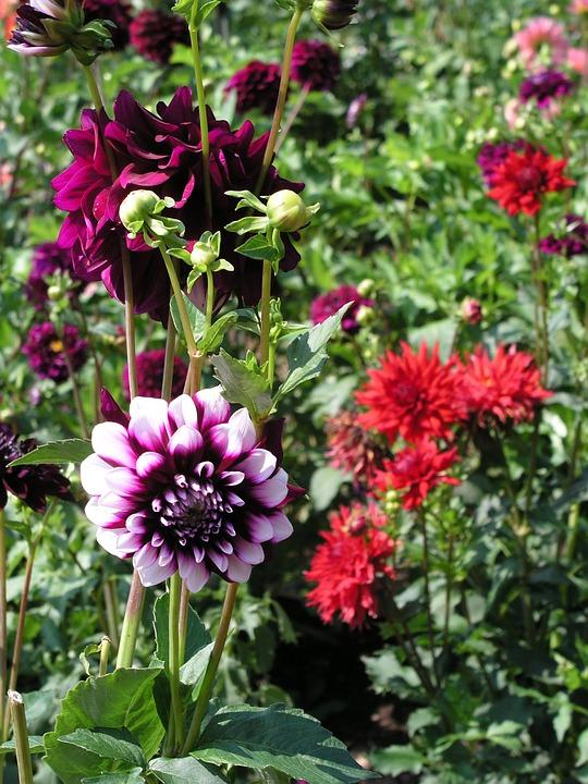 Dahlia, Flower, Nature, Pink, Lilac, Violet
