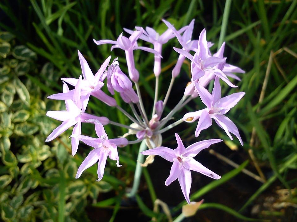 Flower, Flowers, Violet, Lilies, Fragrant, Nature