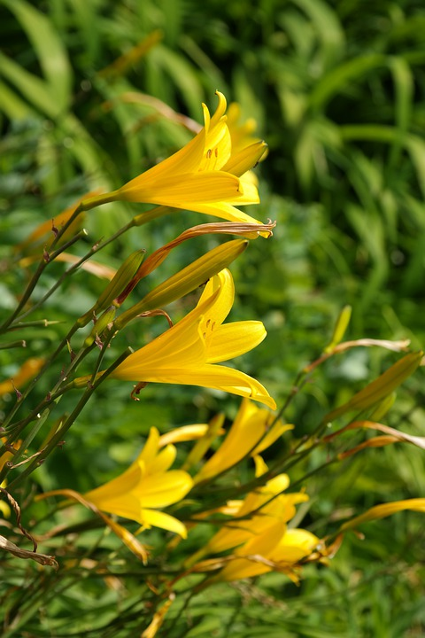 Blossom, Bloom, Flower, Yellow, Lily, Lilium, Lilies