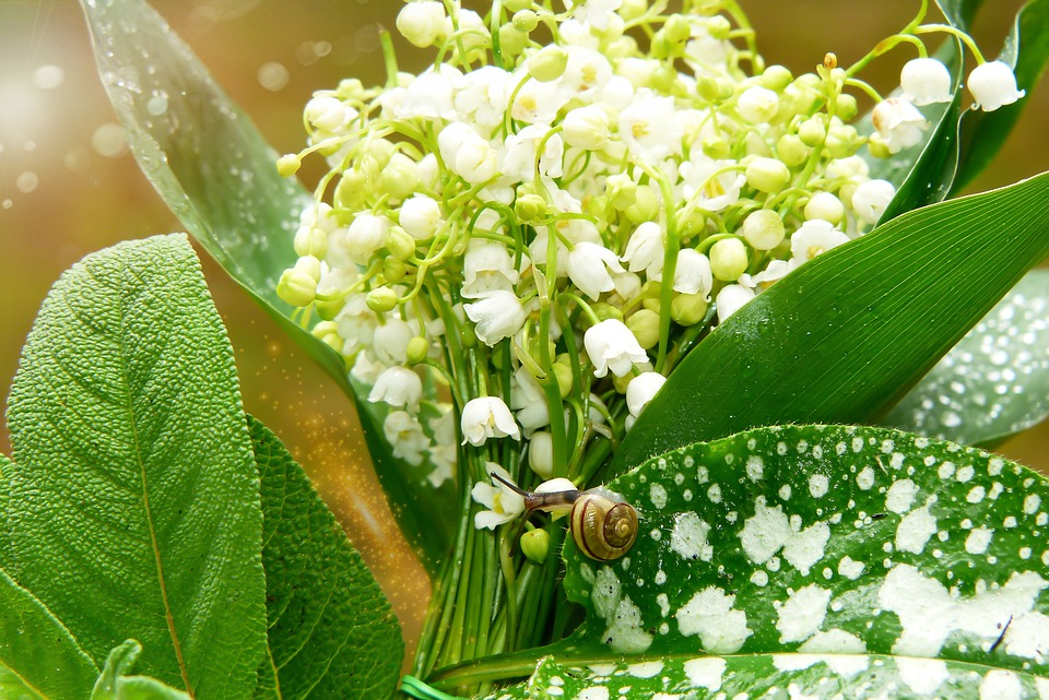 Lily Of The Valley, Flower, Foliage, Forest, Vegetation