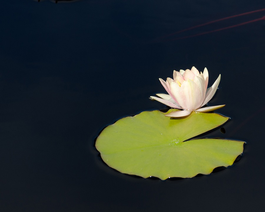 Water, Lily, Flower, Lily Pad, Pond Flower, Pond Plant