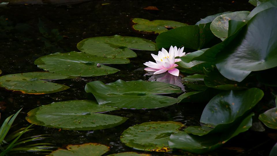 Water Lily, Pond, Lily Pads, Flower, Pink Flower