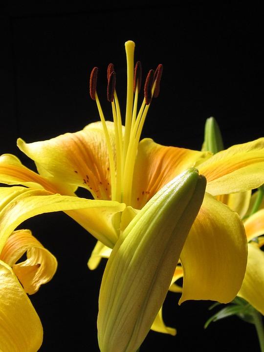 Lily, Pyrenees Lily, Lilium Pyrenaicum, Flower, Bud