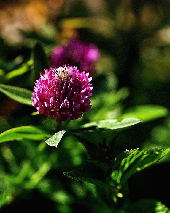 Flower, Clover Flower, List Of Clover