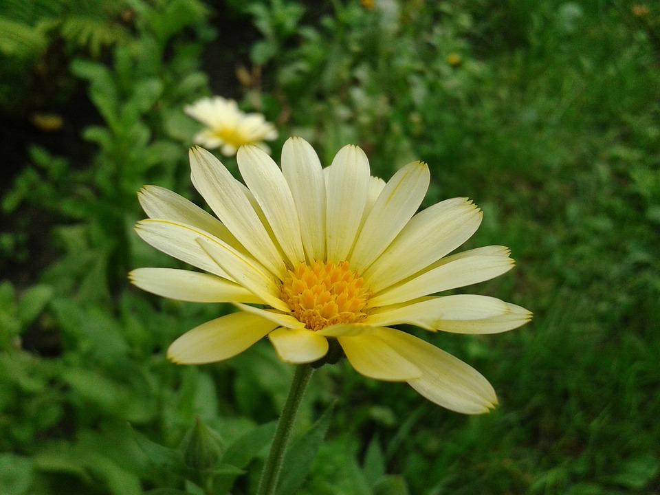 Garden Daisy, Flower, Little, Plant, Yellow