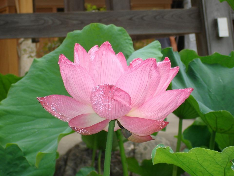 Flower, Lotus, Buddhism