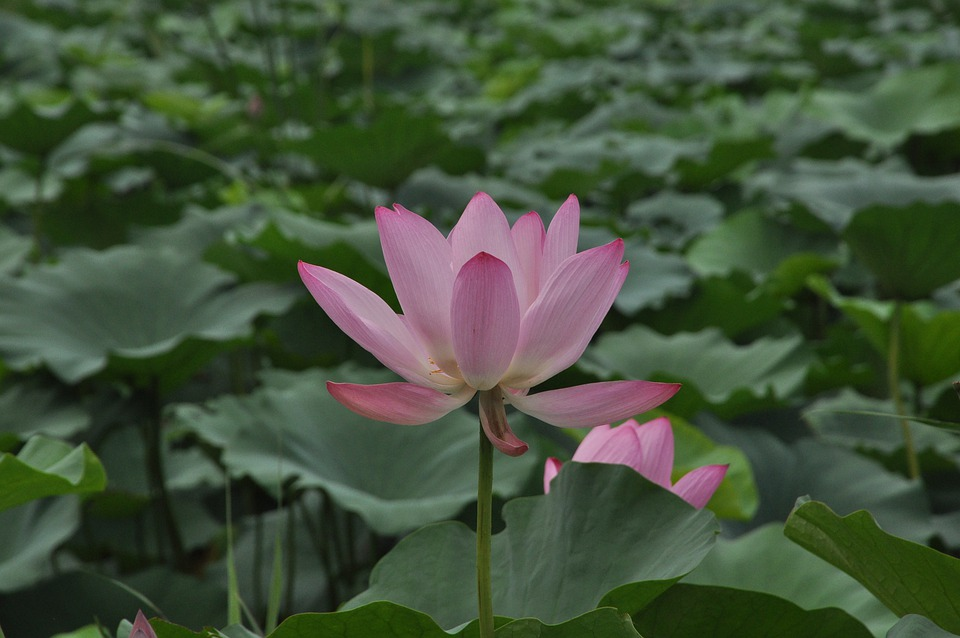 Lotus, Flower, Plant, Flowers, Lotus Leaf, Green Leaf