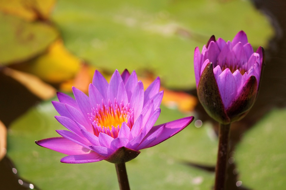 Lotus, Flower, National Flower Of India