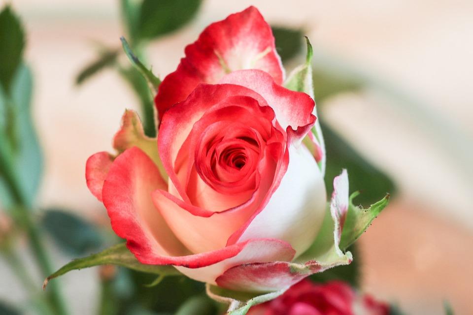 Rose, Flower, Petal, Love, Plant, Sheet, Bouquet