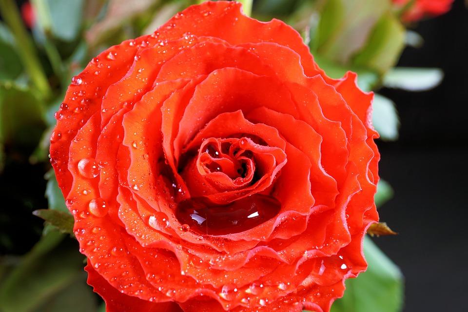 Valentine's Day, Rose, Love, Red, Flower, Blossom