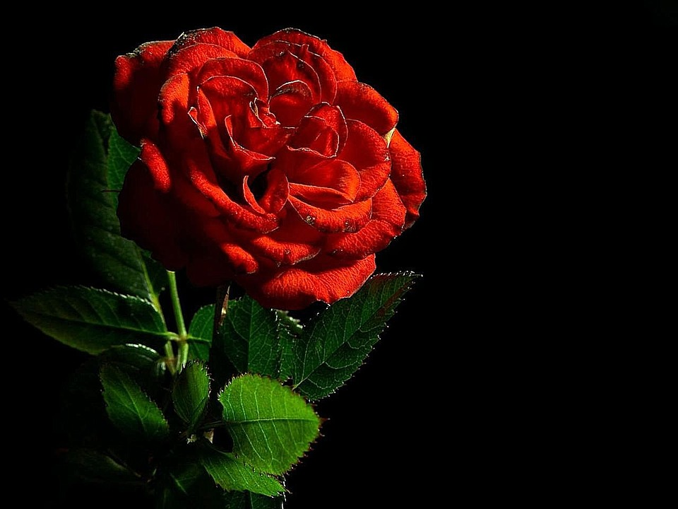 Rose, Red, Flower, Love, Romance