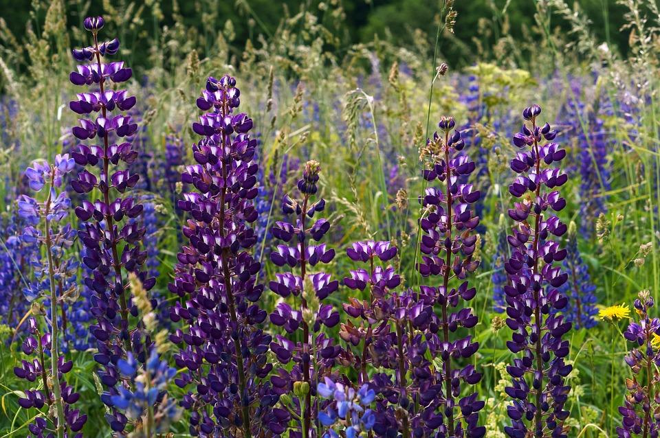 Flower, Lupine, Summer, Nature