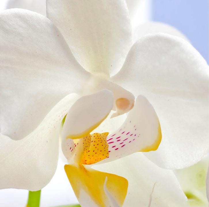 Orchid, Macro, Butterfly Orchid, Blossom, Bloom, Flower