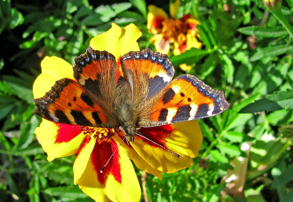 Butterfly, Summer, Insect, Nature, Flower, Macro