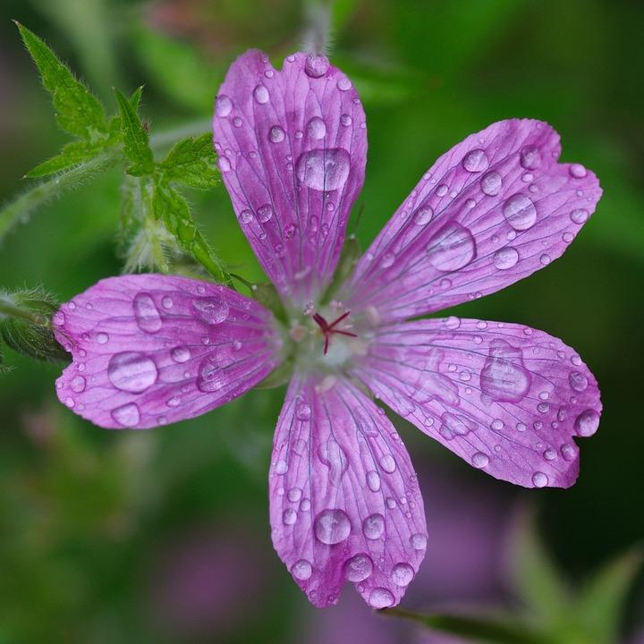 Flower, Drop, Water, Macro