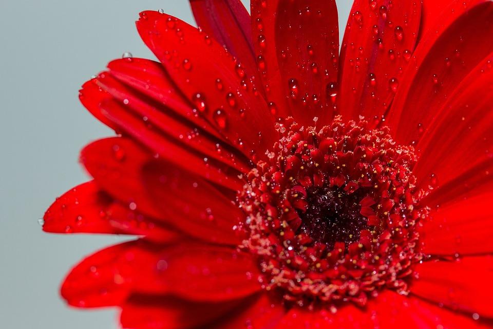 Flower, Blossom, Bloom, Red, Gerbera, Close, Macro