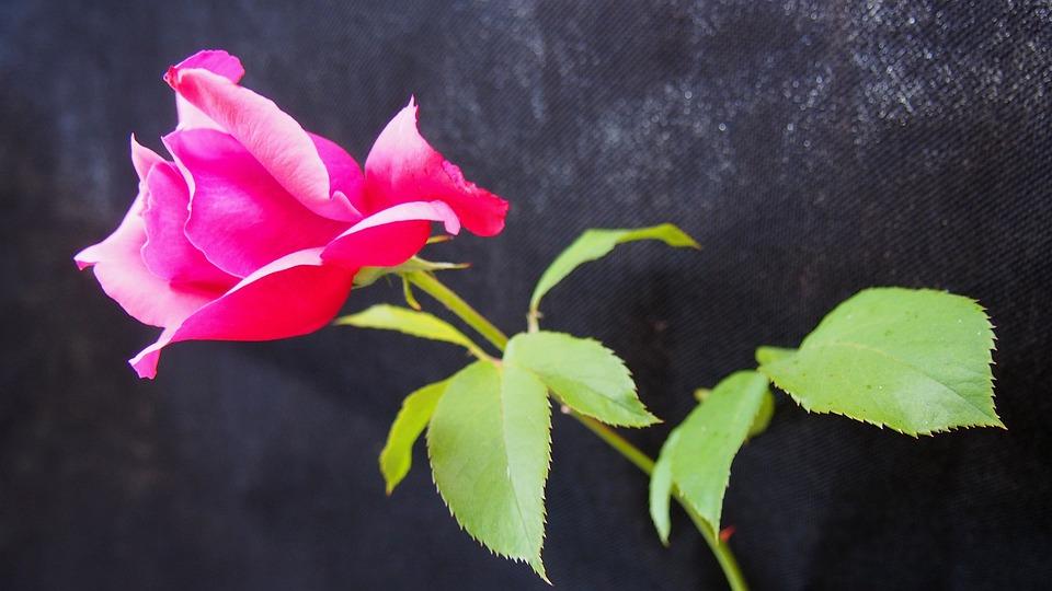 Rose, Flower, Rose Flower, Rose Petals, Macro