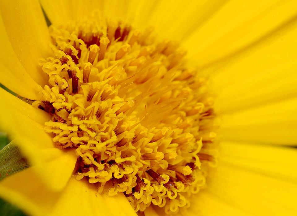 Flower, The Interior Of The, Yellow, Asteraceae, Macro