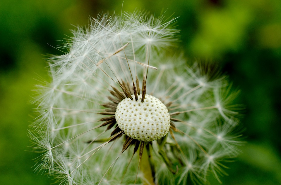 Flower, Dandelion, Wildflower, Macro, Flora, Nature