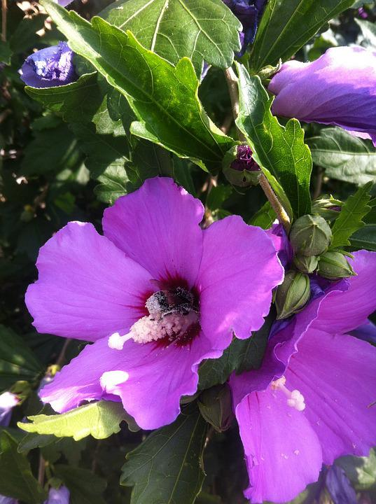 Hibiscus, Flower, Mallow, Blossom, Bloom, Close