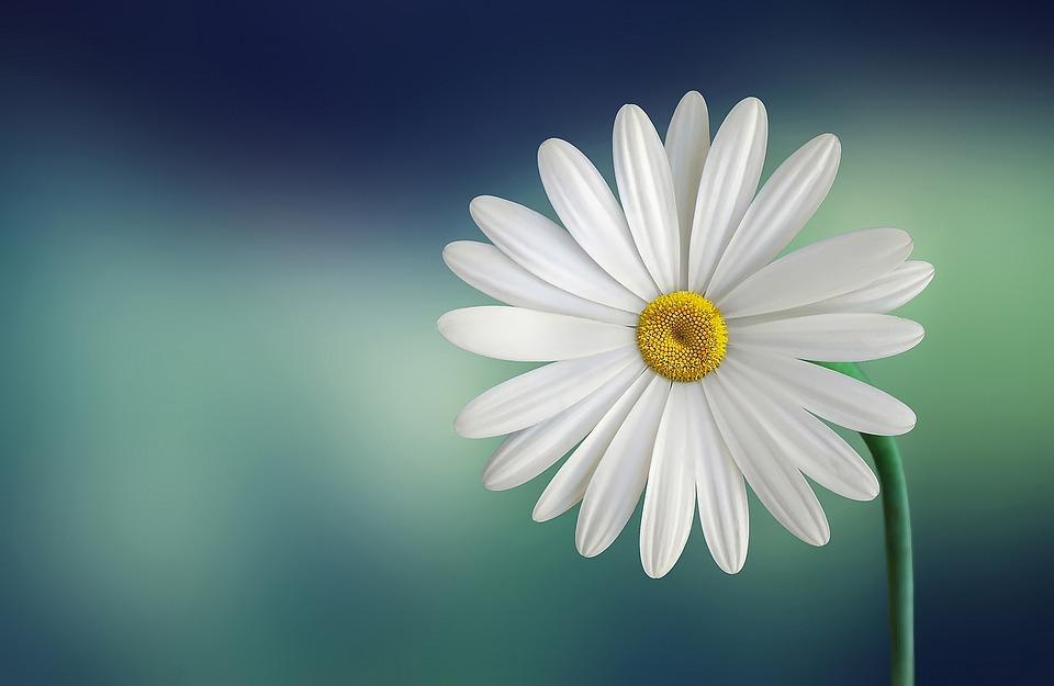 Marguerite, Daisy, Flower, White, Beautiful, Beauty