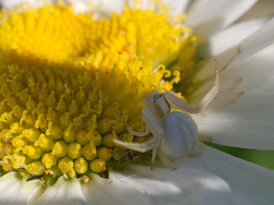 Spider, Dorsata, Marguerite, Flower, Lurking, Macro