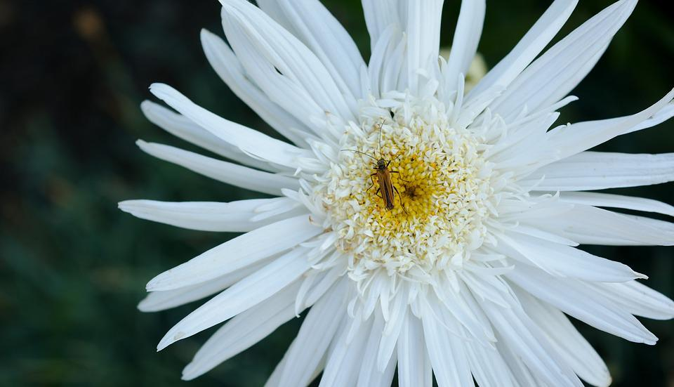 Flower, Marguerite, White, Insect, Spring