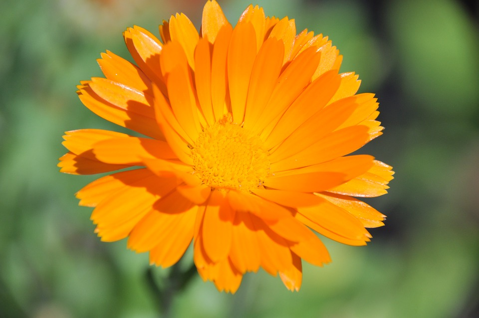 Nature, Flora, Flower, Summer, Petal, Marigold, Orange
