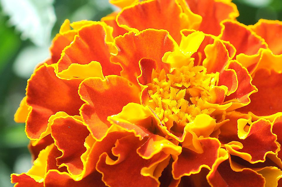 Marigold, Flower, Orange Flower, Petals, Orange Petals