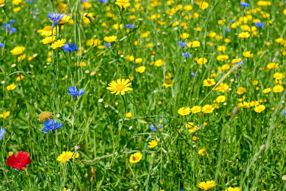 Flowers, Meadow, Flower Meadow, Wild Flowers, Bloom