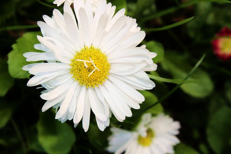 Daisy, Flower, Polyana, Meadow, Meadow Flower