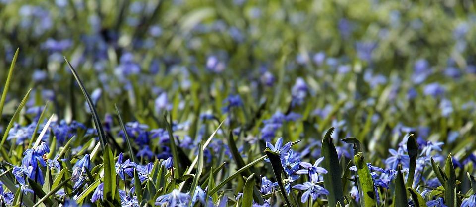 Flower Meadow, Bluebell, Grass, Flowers, Plant, Meadow