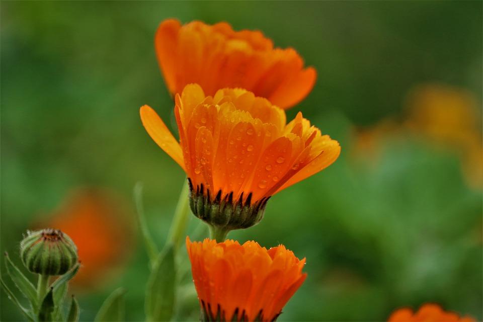 Wild Flowers, Nature, Flowers, Meadow, Flower Meadow