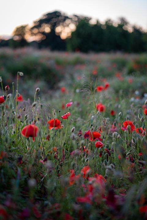 Poppies, Flowers, Field, Sunset, Flower Meadow, Red