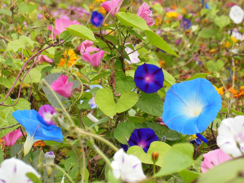 Vetches, Flowers, Blue, Nature, Flower Meadow