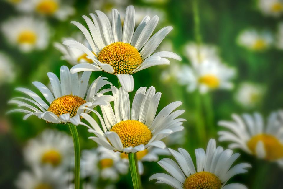 Margaret, Flower Meadow, Flowers, Nature, Summer